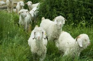 Mohairgeder på græs